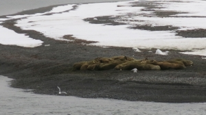 Moffen Island Walrus Haul-out 150601 Day 13