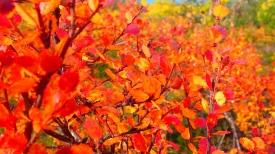 redleafed birches