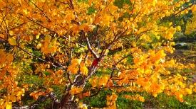Yellow-leafed birch tree